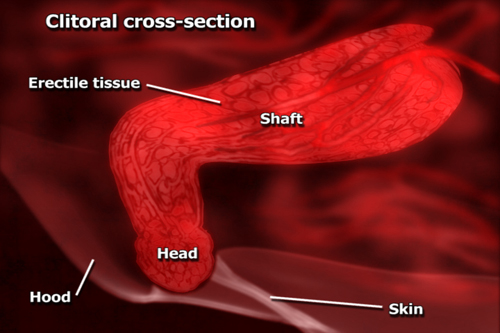 clitoris,schema,clitoral body